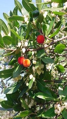 MADROÑO frutos deliciosos ARBUTUS UNEDO 100 Semillas fruta huerto seeds bonsai