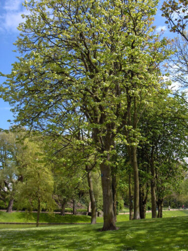 Tilia mandshurica MANDSHURIAN LINDEN TREE Seeds!