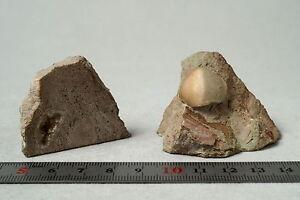 Brachiopoda-porambonites-sp-fossil-Russia