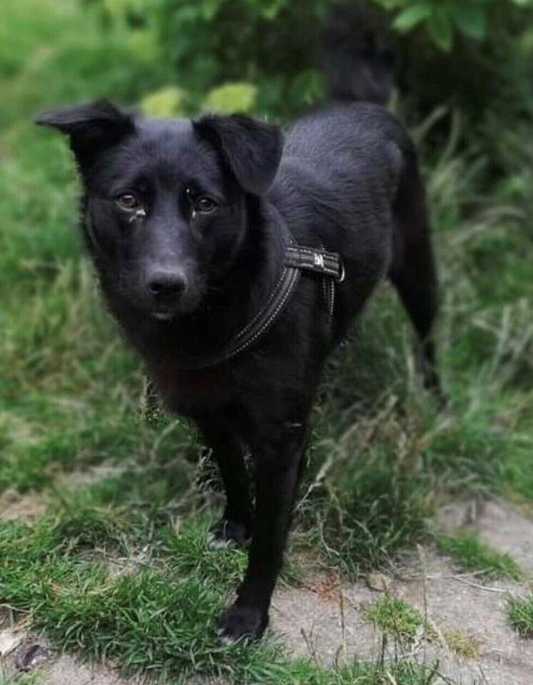 blandingshund, hund, 2 år