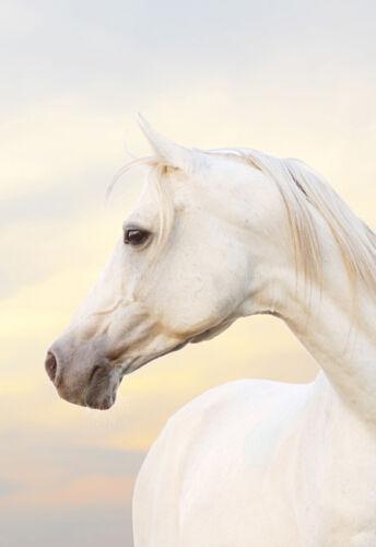 Arabian Horse on Sunrise Quality Canvas Print Large