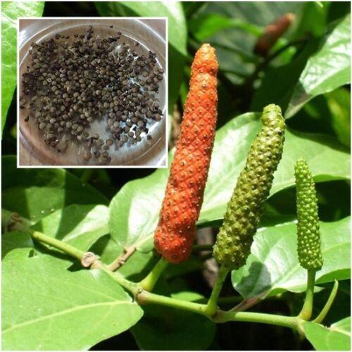 Piper retrofractum 500 Seeds Piper longum Long Pepper Herb Heirloom Seeds Thai