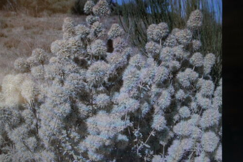 10 Samen Mastix-Thymian,Thymus mastichina,Räucherthymian#425