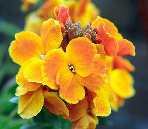 wall-ENGLISH-WALLFLOWER-Perennial-orange-flower-465-seeds-GroCo