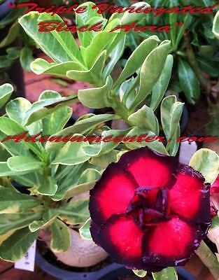 "Adenium OBESUM DESERT ROSE /""Triple variado Aura Negra/"" 20 Sementes Novo"