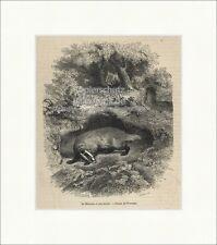 Le Blaireau et son terrier Dachs Bau Wald Raubtier Marder Holzstich E 19985