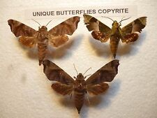 Real Butterflies/Insects Set/Spread B2185 Hawk Moths(Daphnis?) North Aust  X 3