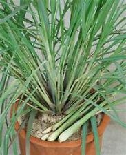 30 Semi di Citronella Cymbopogon flexuosus***LEMONGRASS seeds***semillas
