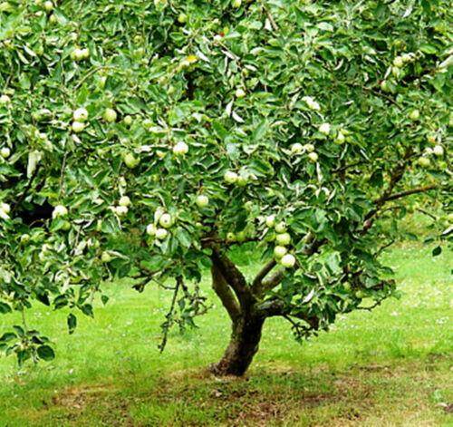 Harvest Green /& Crisp Apples in Your Backyard 5 Seeds Granny Smith Apple Trees