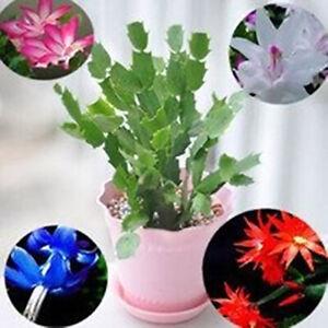Am-100Pcs-Schlumbergera-Seeds-Cactus-Flower-Pot-Bonsai-Garden-Purifying-Air-Pla