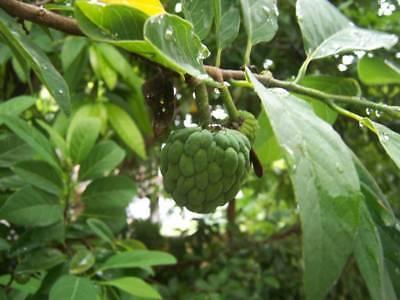 Ernst 50 Samen Annona Squamosa Exotischer Rahmapfel Zimtapfel