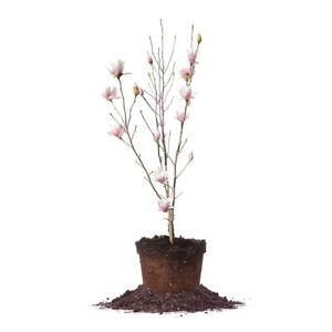 Alexandrina Magnolia Tree Live Plant Size 3 Gallon Ebay