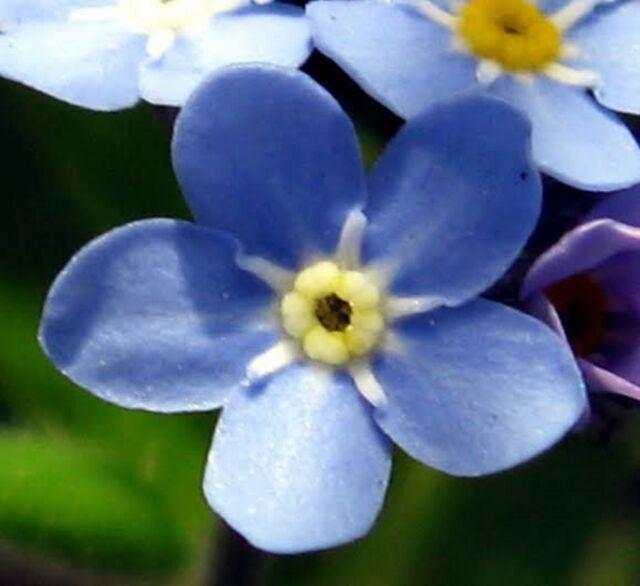 FORGET ME NOT FLOWER SEEDS MYOSOTIS SEED FLOWER GARDEN POT BORDER 300 SEEDS