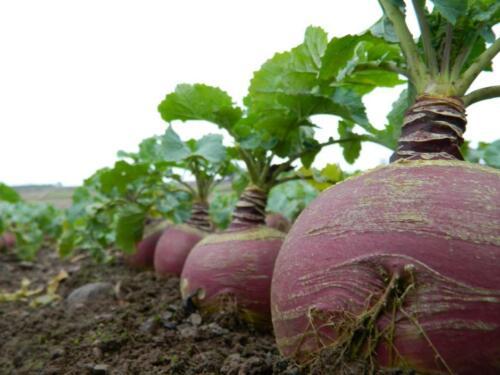 Swede Indian Bangladeshi Vegetable Seeds स्वादिस्ट सब्जी 150 seeds Shalgom
