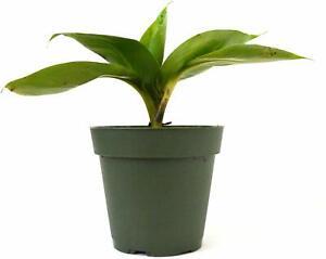 Banana-Dwarf-Patio-Plant-Live-Tree-Garden-Fruit-Outdoor-Yard-4-034-Pot-Best-Gift