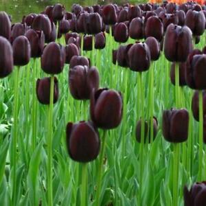 50-Stuecke-Schwarz-Lila-Tulpe-Samen-Blumen-Balkon-Mehrjaehrige-Hausgarten-Pfl-W1L0