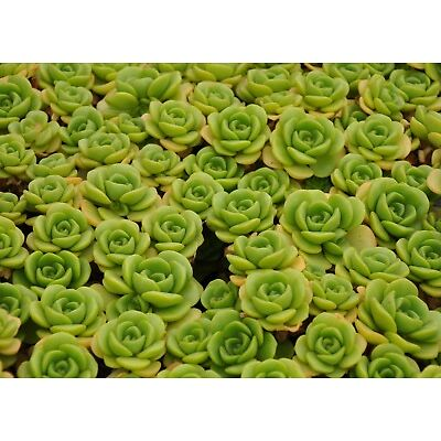 Succulent Aeonium Lily Pad 3 healthy fresh cuttings