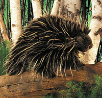 Porcupine Puppet 2378 13 Long Free Shipping In Usa Folkmanis Puppets