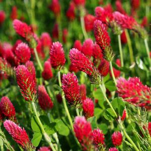 ROSENKLEE-3-000-Samen-BLUTKLEE-Trifolium-incarnatum-seeds-KLEE-Bienenweide
