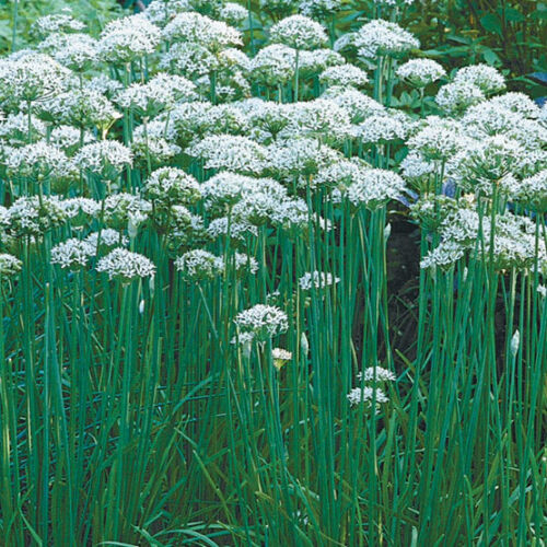 ~Strong Garlic Flavor ~ theseedhouse ~ 50 Seeds Allium tuberosum Garlic Chives