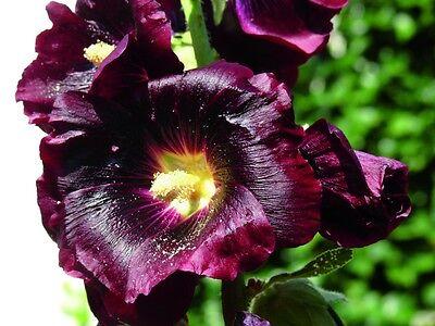 Stockrosen- mehrjährig- dunkel-rote Blüten bis 2,20m hoch, 20 Samen