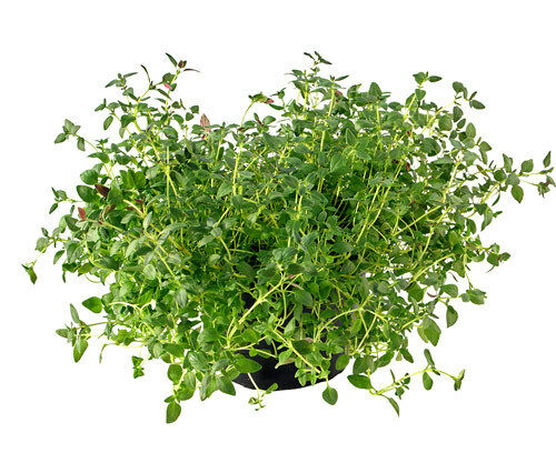 HERB,THYME 100 Non Gmo Heirloom Seeds FREE Shipping