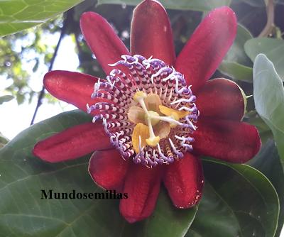Maracuya Gigante Passiflora Quadrangularis 12 Semillas Promuovi La Produzione Di Fluidi Corporei E Saliva