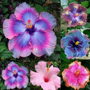 Garden-Giant-Hibiscus-Exotic-Coral-Flower-100-Seeds-Mix-Rare-Blue-Pink-Color-Hot