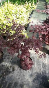 Acer-palmatum-Trompenburg-roter-Faecherahorn-80-100cm