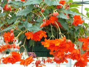 50 Pelleted Begonia Seeds Bossa Nova Orange Pelleted Seeds BULK SEEDS