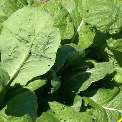 1 Lb Tendergreen Mustard Seeds Everwilde Farms Mylar Seed Packet