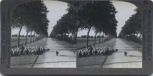 Rebaño Ovejas Chartres Francia Foto Estéreo Stereoview Vintage