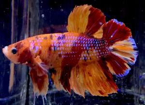"Live Betta Fish Male Import ""Miraculous"" Giant Nemo HMPK Betta #616"