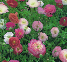 FLOWER PAPAVER POPPY INDIAN DOUBLE SHIRLEY MIX 22000  FLOWER SEEDS