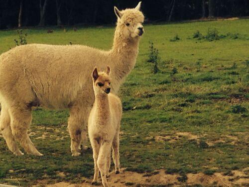 Brown 100/% Pure Alpaca Wool Natural Fleece Colour 50g Ball. Double Knit