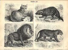 Stampa antica ANIMALI PREDATORI Lince Leone Tigre 1890 Old antique print
