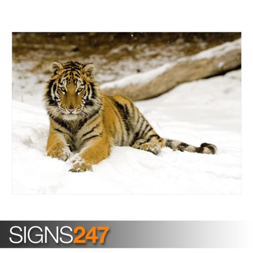 3604 SNOWY AFTERNOON TIGER Animal Poster Photo Poster Print Art * All Sizes