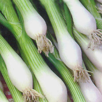 VEGETABLE  ONION  WHITE LISBON BUNCHING (SPRING) (WINTER HARDY)  2500 SEEDS