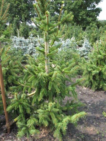 Picea abies virgata Hexe - Zapfenfichte virgata Hexe -