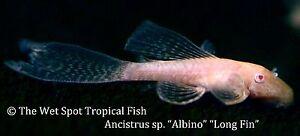 "(1) 1.25"" Long Fin Albino Bushynose Pleco TR Ancistrus sp. Live Fresh Tropical"