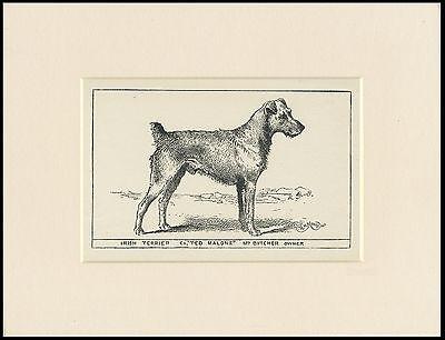 IRISH TERRIER RARE ANTIQUE 1900 ENGRAVING NAMED DOG PRINT READY MOUNTED