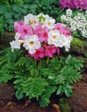 25+ INCARVILLEA HARDY GLOXINIA /CREAM & ROSY PURPLE MIX PERENNIAL FLOWER SEEDS