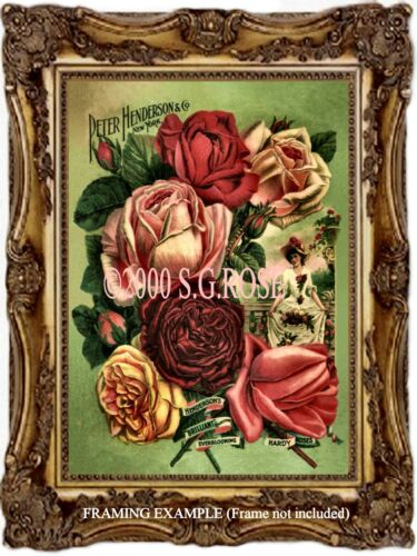 Antique Vintage ART PRINT VICTORIAN Old Garden ROSES Peter Henderson /& Co Adv