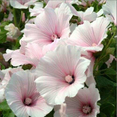 Blumen Kings Seeds Picture Packung Lavatera Zwerg Pink Rötlich 100 Samen