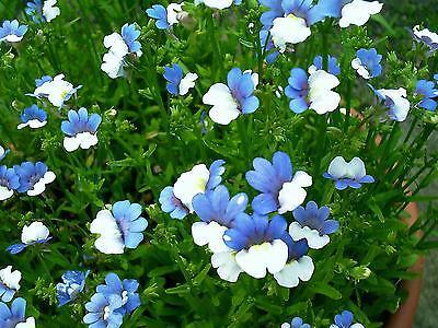 50 BLUE & WHITE NEMESIA Strumosa Flower Seeds *Comb S/H