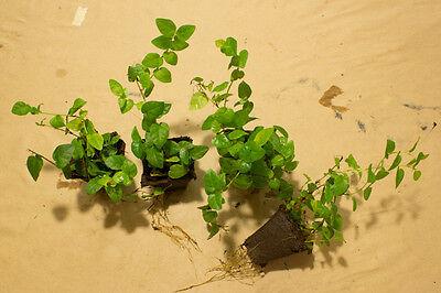 Ficus Pumila (climbing fig) - Terrarium/Vivarium Plant