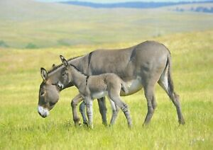A1-Donkey-Animal-Canvas-Picture-Wall-Poster-Art-Print-60x90cm-180gsm-Gift-15596