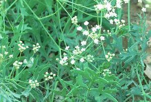 Wildblumen Knoblauch 3 x Allium ursinum Glühbirnen Bereit zum Pflanze in ihrem