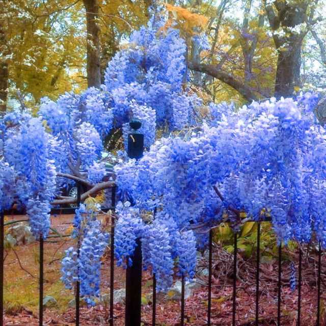 5 Blue Japanese Wisteria Seeds Flower Extra Long Cluster Fragrant TT017