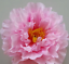 039-Penelope-039-Large-Silk-17cm-7-034-Millinery-Peony-Flower-Hat-Mount-9-Colours thumbnail 18